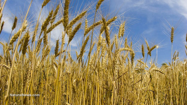 Scientists: Eating GMO wheat may destroy your liver