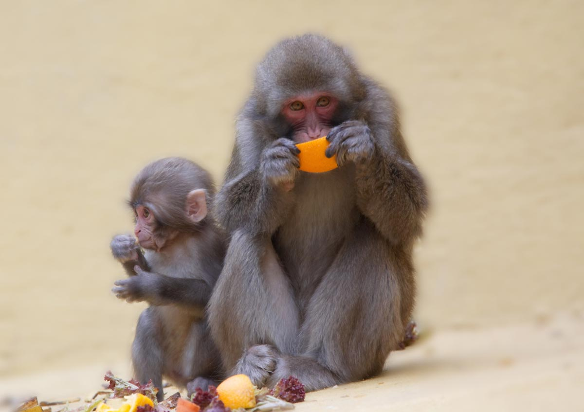 Image: Baby monkeys given standard doses of popular vaccines develop symptoms of autism