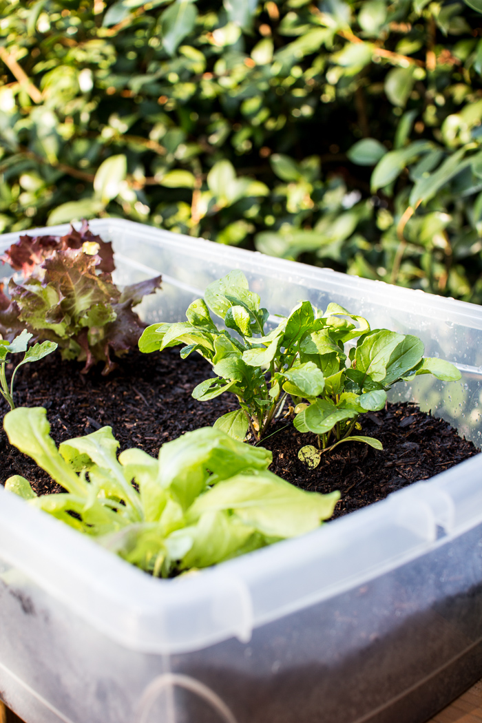 These vegetables grow best in small spaces - Growing vegetables in a small space concept ...