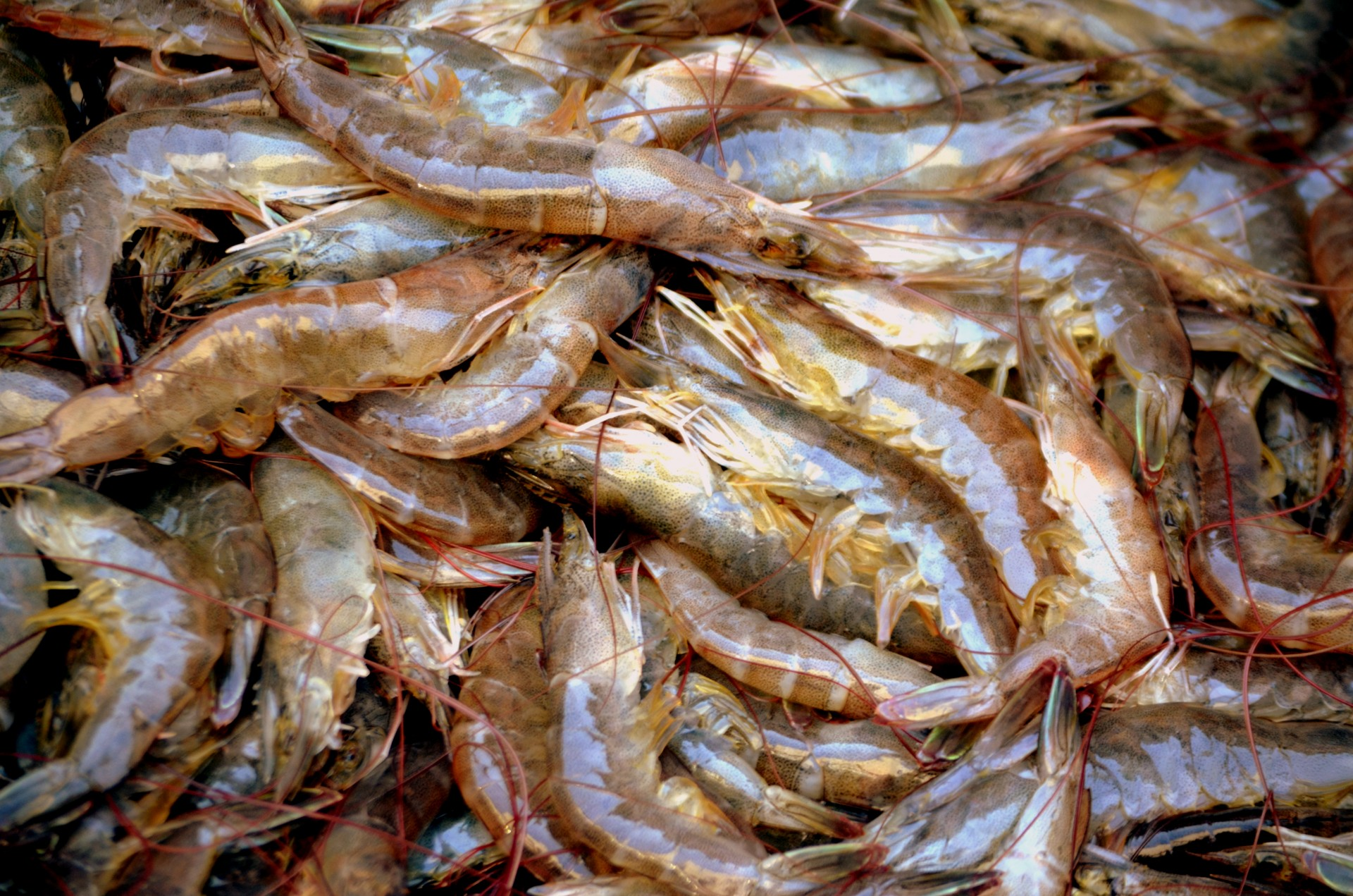 Why you should never buy walmart or costco shrimp for Fish antibiotics walmart