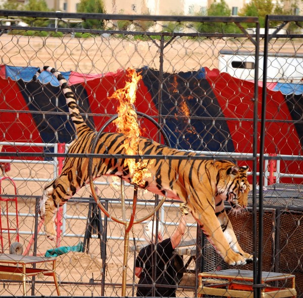 Image: Disturbing video shows endangered tiger tied down by circus crew so customers can pose for pictures