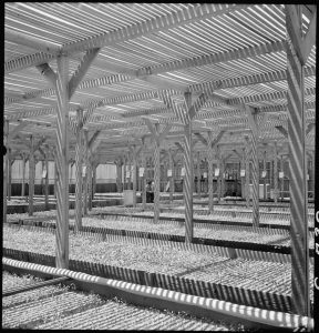 Manzanar Relocation Center, Manzanar, California. A view of section of the lath house at this War Relocation Authority center where seedling guayule plants are propagated by experienced evacuee nurserymen in the guayule rubber experiment project.
