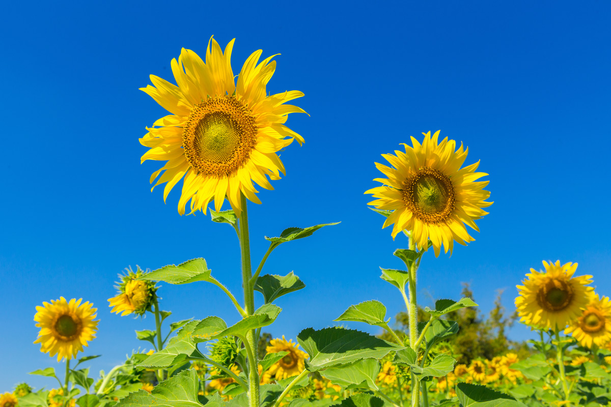 Image: A little bit of sunshine: How to grow sunflowers