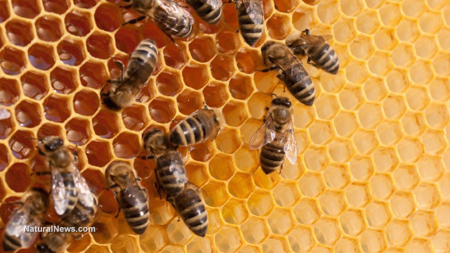 Study shows honeybees are starving because of Roundup