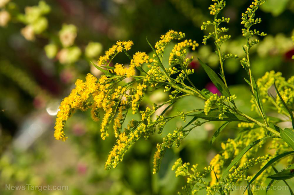 How to identify, grow and use goldenrod, a versatile plant you need in your survival garden