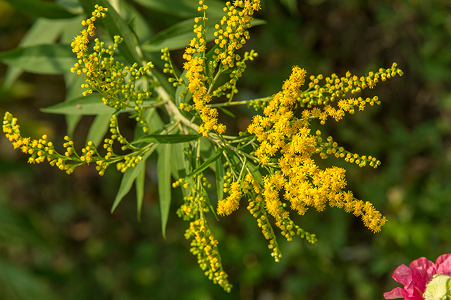 How to identify, grow and use goldenrod, a versatile plant that you need in your survival garden