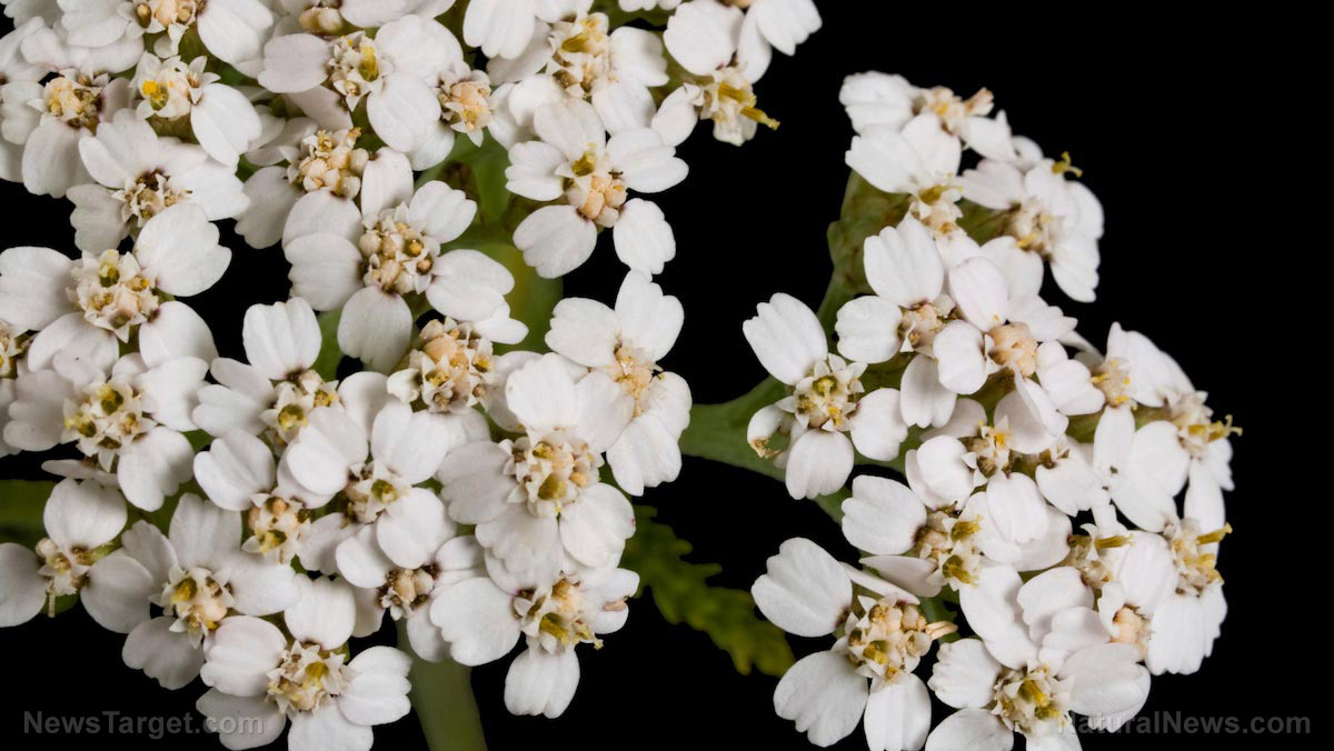 Medicinal plants for preppers: How to identify yarrow, a natural astringent